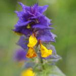 Hain Wachtelweizen Blatt blau Bluete gelb Melampyrum nemorosum 02