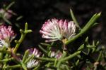 Hakea Bluete rosa Hakea bipinnatifida 08