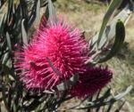 Hakea Bluete rosa Hakea grammatophylla 02