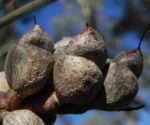 Hakea Frucht Schote grau Hakea verrucosa 11