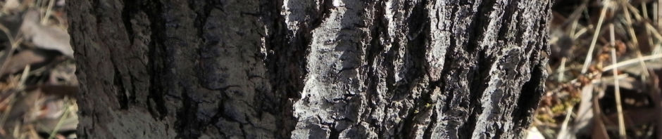 graslaubige-hakea-grass-leaved-hakea-bluete-rot-weiss-rinde-grau-hakea-multilineata