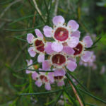 Hakige Chamelaucium Bluete rosa Chamelaucium uncinatum 01