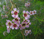 Hakige Chamelaucium Bluete rosa Chamelaucium uncinatum 02