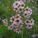 Hakige Chamelaucium Bluete rosa Chamelaucium uncinatum 03