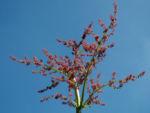 Handfoermiger Rhabarbar Bluete rot Rheum palmatum 05