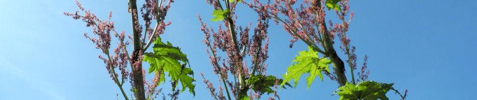 handfoermiger-rhabarber-bluete-rot-rheum-palmatum