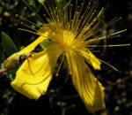 Hartheu Johanniskraut Bluete gelb Hypericum olympicum L 01
