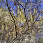 Haselnuss Strauch Kaetzchen Corylus avellana 01