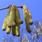 Haselnuss Strauch Kaetzchen Corylus avellana 03