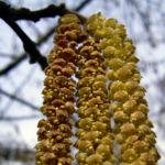 Haselnussstrauch Bluete Stamm Corylus avellana 04