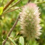Hasen Klee Bluete weiss Trifolium arvense 04