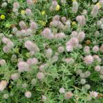 Hasen Klee Bluete weiss Trifolium arvense 09