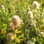 Hasen Klee Bluete Trifolium arvense 02