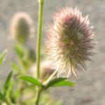 Hasen Klee Bluete Trifolium arvense 05