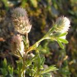 Hasen Klee Bluete Trifolium arvense 06
