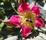 Hecht Rose Bluete Rosa glauca 01