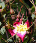 Hecht Rose Bluete Rosa glauca 06