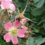 Hecht Rose Rosa glauca 04