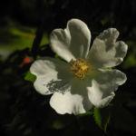 Hecken Rose Bluete weiss Rosa corymbifera 01