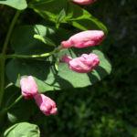 Heckenkirsche Bluete rotweiss Lonicera xylosteum 09
