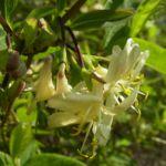 Heckenkirsche Bluete Lonicera xylosteum 01