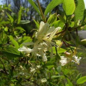 Heckenkirsche Bluete Lonicera xylosteum 04