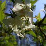Heckenkirsche Bluete Lonicera xylosteum 05