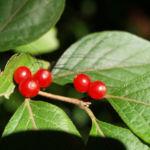 Heckenkirsche Frucht rot Blatt gruen Lonicera maackii 02