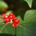 Heckenkirsche Frucht rot Blatt gruen Lonicera maackii 05