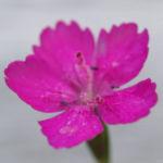 Heide Nelke Bluete rot Dianthus deltoides 02