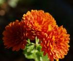 Herbst Chrysantheme Winteraster Bluete braun orange Chrysanthemum indicum hybdride 01
