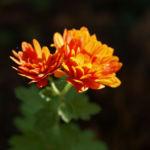 Herbst Chrysantheme Winteraster Bluete braun orange Chrysanthemum indicum hybdride 02