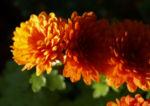 Herbst Chrysantheme Winteraster Bluete braun orange Chrysanthemum indicum hybdride 04