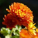 Herbst Chrysantheme Winteraster Bluete braun orange Chrysanthemum indicum hybdride 05