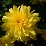 Herbst Chrysantheme gelb Chrysanthemum Indicum 01
