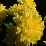 Herbst Chrysantheme gelb Chrysanthemum Indicum 02