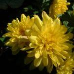 Herbst Chrysantheme gelb Chrysanthemum Indicum 03