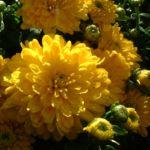 Herbst Chrysantheme gelb Chrysanthemum Indicum 04