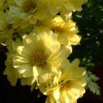 Herbst Chrysantheme hellgelb Chrysanthemum Indicum 02