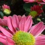 Herbst Chrysantheme lila Chrysanthemum Indicum 01