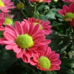 Herbst Chrysantheme lila Chrysanthemum Indicum 03