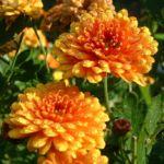 Herbst Chrysantheme orange Chrysanthemum indicum hybriden 01