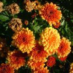 Herbst Chrysantheme orange Chrysanthemum indicum hybriden 02