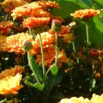 Herbst Chrysantheme orange Chrysanthemum indicum hybriden 04