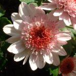 Herbst Chrysantheme rosa Chrysanthemum Indicum 02