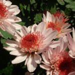 Herbst Chrysantheme rosa Chrysanthemum Indicum 03