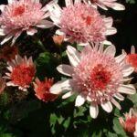 Herbst Chrysantheme rosa Chrysanthemum Indicum 04