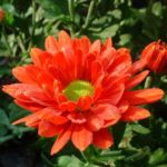 Herbst Chrysantheme rot Chrysanthemum indicum hybriden 03