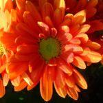 Herbst Chrysantheme rot Chrysanthemum indicum hybriden 04