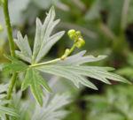 Herbst Eisenhut Aconitum carmichaelii 05